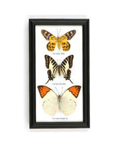 Trio of Framed Butterfly Specimens