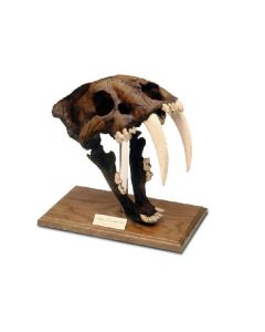 Saber Toothed Cat Fossil Replica